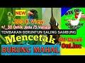 Kombinasi Tembakan Beruntun 30 Detik Sambung Belalang Tengkek Buto Cililin 60 Menit Nyecret(.mp3 .mp4) Mp3 - Mp4 Download