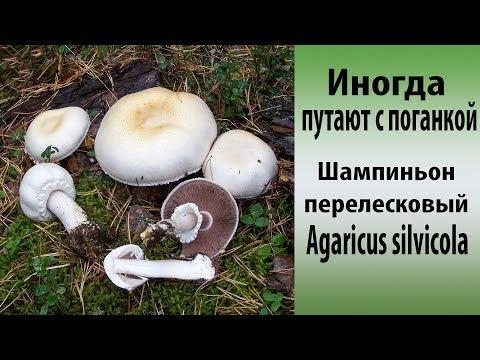 Описание грибов с фото / Съедобные грибы, ягоды, травы