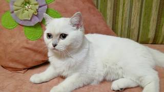 Кошка белая с голубыми глазами (Дафна)