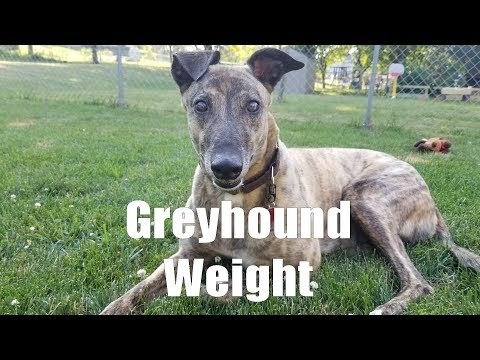 Greyhound Weight [2.9]