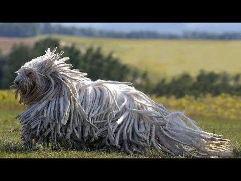Самые лохматые собаки в мире