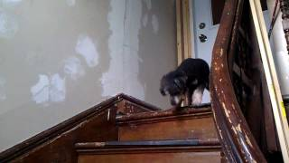 Dog Scared Of Stairs - Funny Cute thumbnail