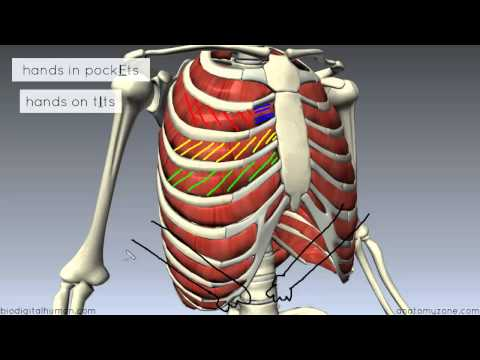 Muscles of the Thoracic Wall - 3D Anatomy Tutorial