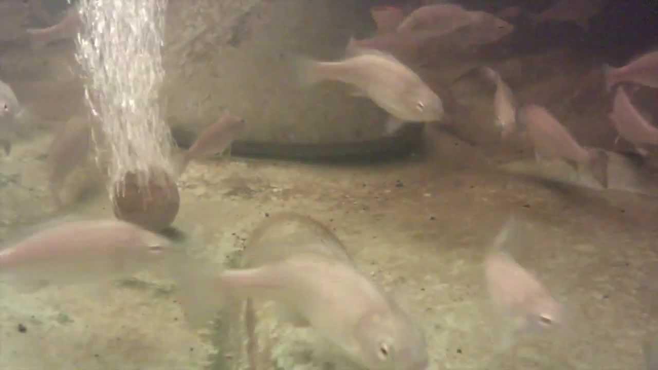 backyard aquaponics silver perch fish update april 2013