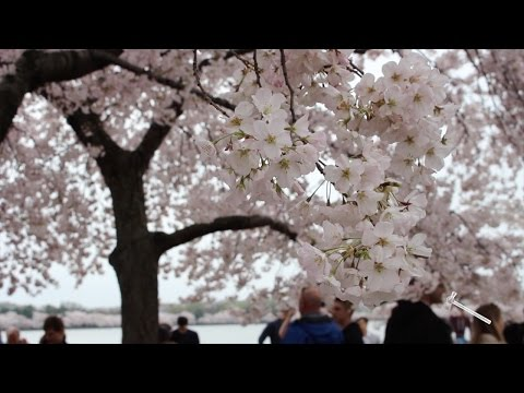 Best place to see the cherry blossoms: Tidal Basin