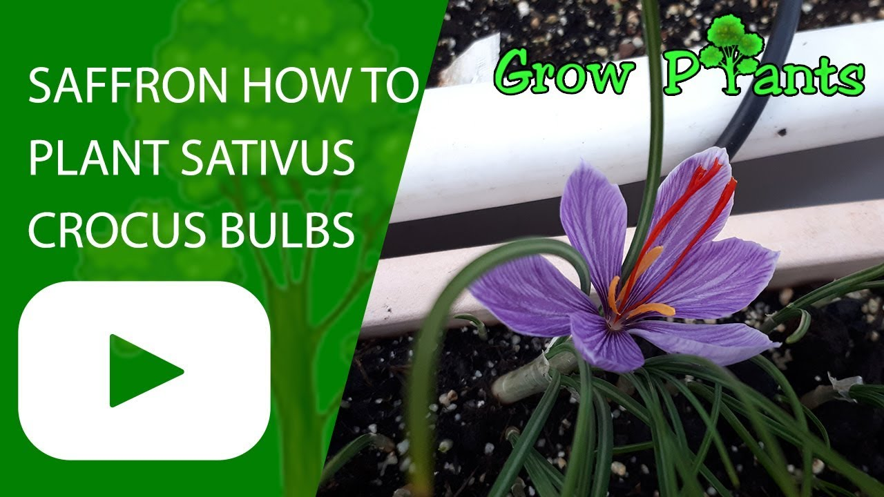 Saffron How to plant Sativus crocus bulbs - YouTube