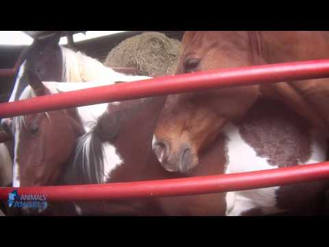 Ask the ASPCA: What is Horse Slaughter?
