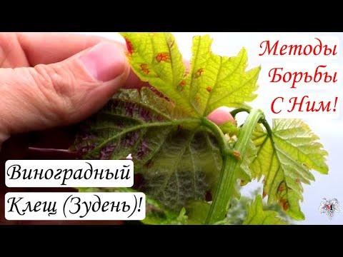 Виноградный клещ (Зудень). Методы борьбы с ним. Часть 1. Виноград 2016.