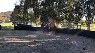 Stallion serving in season mare