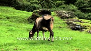 Cattle graze in grassy meadow - Munnar, Kerala