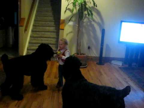 Black Russian Terriers playing with little girl