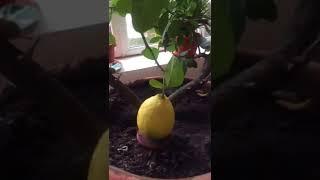 Уход за мурайей в домашних условиях, когда она не цветет и опадают листья (фото и видео)