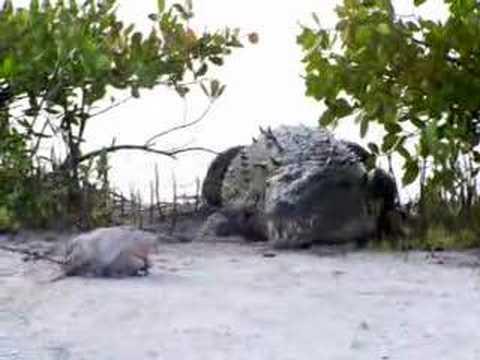 Crocodile Feeding - San Pedro, Belize