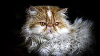 Persian cat - القط الشيرازي - Chat persan