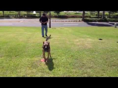 Amazing control Police Dog Training