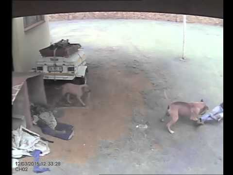 WATCH: Guard dog attacks intruder in Middelburg | News24