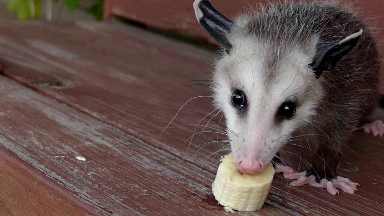 Baby Opossum Eats Bananas In Slow Motion