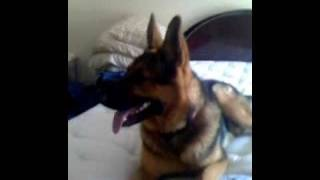 German shepherd attacks kid