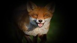 icotec FOX CALLER - FREE Mp3 Download