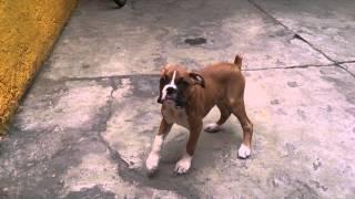 Mi cachorro bóxer ladrando