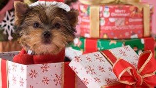 Filhote de cachorro do Natal Surpresa 2014-2015
