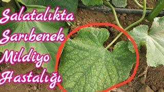 82 Salatalık ta Sarıbenek hastalığı tarım ve çiftçilik uygulamaları mersin Tarsus heleke köyü