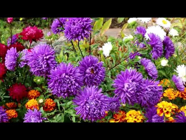 How To Grow Asters From Seed Youtube