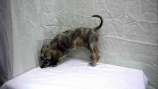 アフガンハウンドの子犬販売情報はこちらhttp://dog-lien.com/puppy/745.