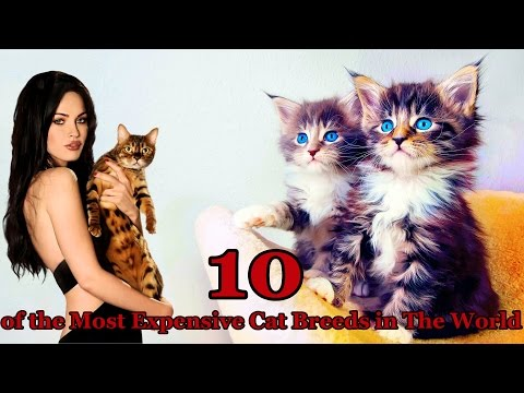 10 of the Most Expensive Cat Breeds in The World