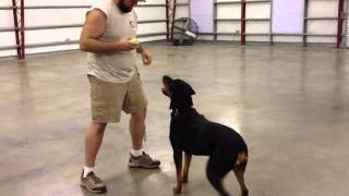 """Fun Obedience And Retrieving Video Rottweiler For Sale """"dock"""""""