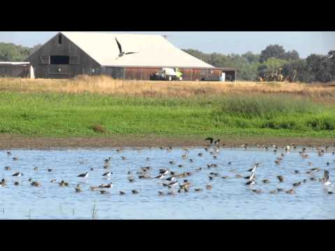 Shorebirds at the Cosumnes River Preserve