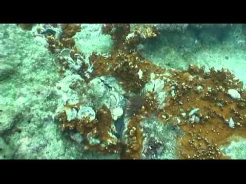 Lobster diving off of Stuart, Fl. Jan 3, 2013