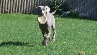 Weimaraner Lula Lola At A & B Dogs Boarding & Training Kennels.
