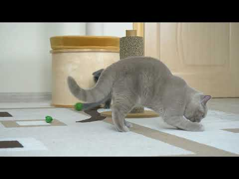 Lilac british kitty is Malvina High Class*RU