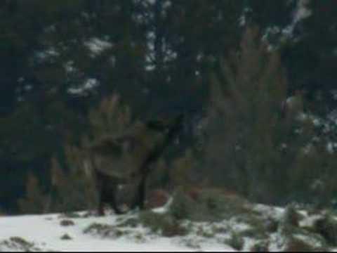 Yellowstone Lone Wolf Howls