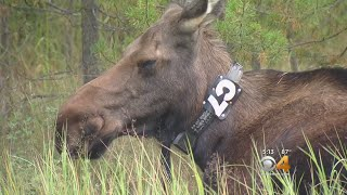 Moose In Rocky Mountain National Park Will Wear Collars
