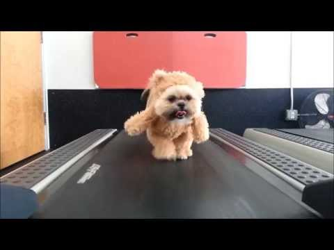 munchkin-the-teddy-bear-gets-her-exercise-original