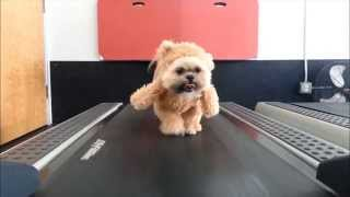 Munchkin the Teddy Bear gets her exercise ORIGINAL