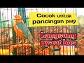 Pancingan Plong Anis Merah Pagi Hari  Mp3 - Mp4 Download