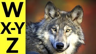 Animals Starting with W & X & Y & Z - Learn Animal Words That Start With Letters W, X, Y, and Z