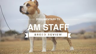 AMERICAN STAFFORDSHIRE TERRIER BREED REVIEW