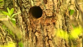 Great Spotted Woodpeckers at Nest-Hole