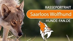 Saarloos Wolfhund [2018] Rasse, Aussehen & Charakter