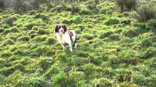English Springer Spaniel Pup Hunting