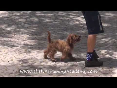 Max a Golden Doodle with Basic Obedience - The K9 Training Academy