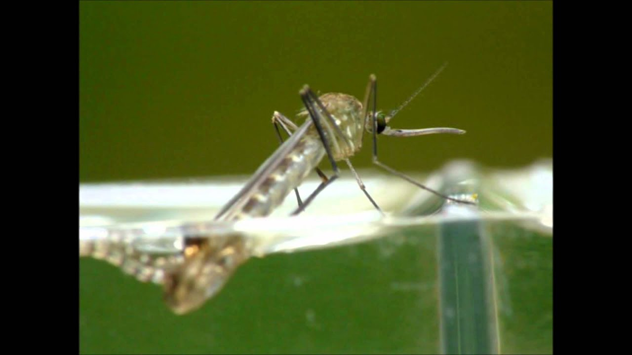 Aninimal Book: Mosquito Emerging from Pupa - YouTube