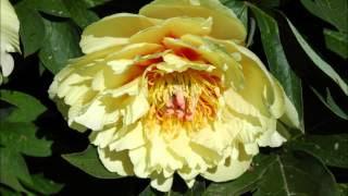 Peony  Farm Gardens in Sequim, Washington State
