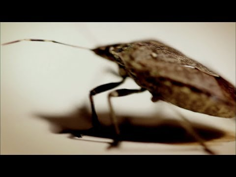 Infestation Of Stink Bugs, Opossums And Roaches | Wildlife Documentary | Natural History