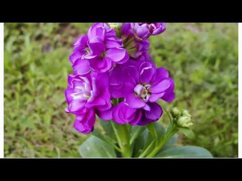 Левкой Неприхотливые и красивые цветы