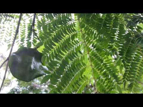 Jacaranda Tree - seed pods - Jacaranda Mimosifolia HD 12